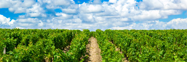 A vineyard in the Medoc, Bordeaux, France