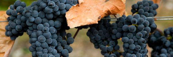 Gamay grapes ripening in Beaujolais