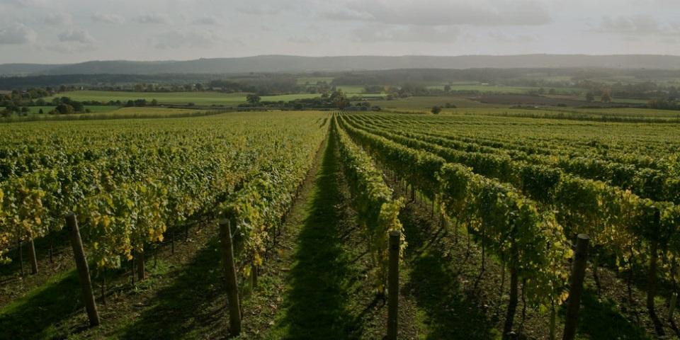 Nyetimber Vineyard